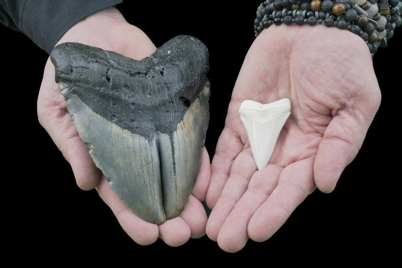prehistoric megalodon shark tooth