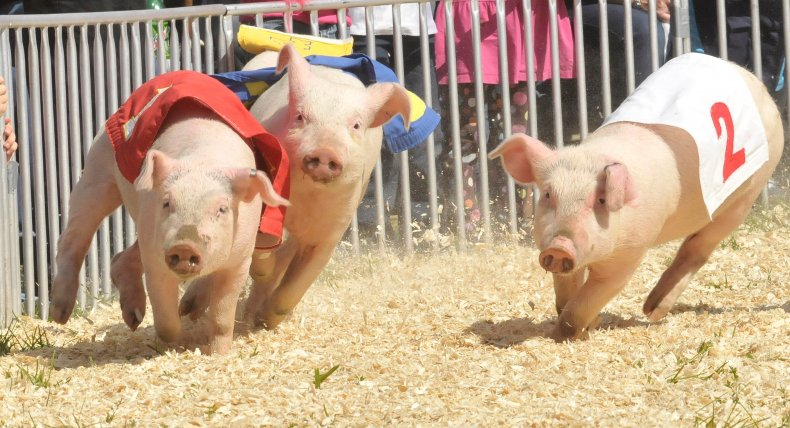 A pig race