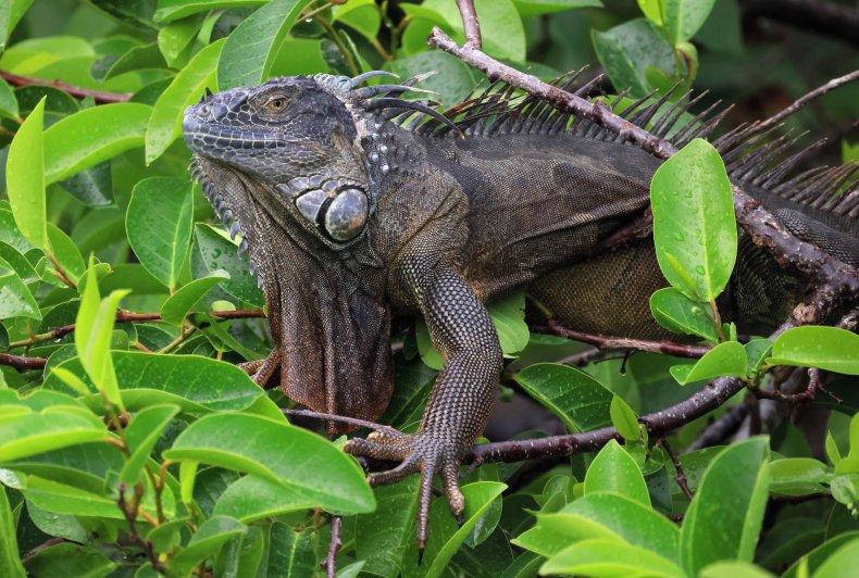 Florida iguana in a tree