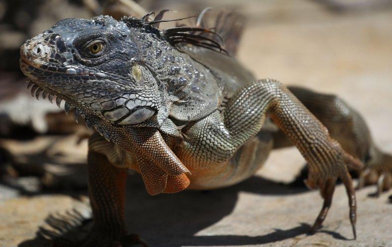 Florida iguana