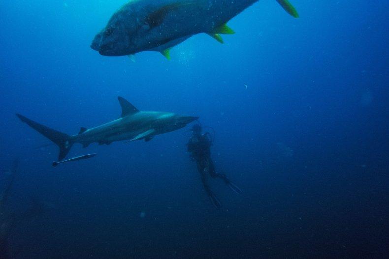 A diver swins with a blacktip shark.