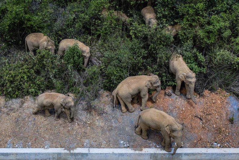 Elephants wander China