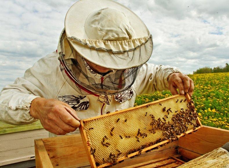 Beekeeper handling bees