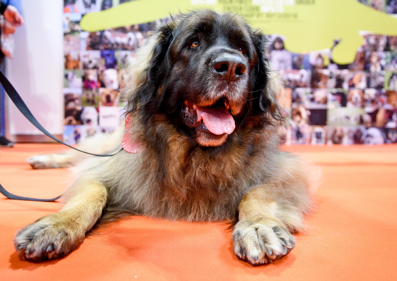 The 20 Smartest Large Dog Breeds