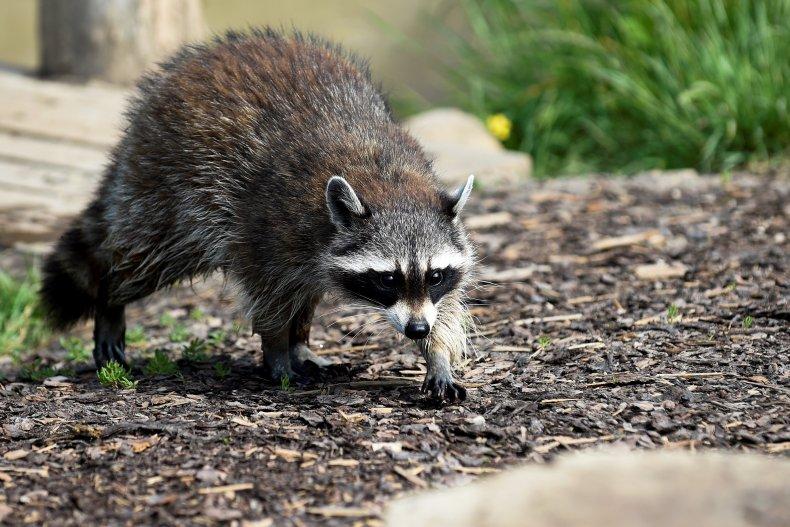 A raccoon in Rhodes, France in 2020