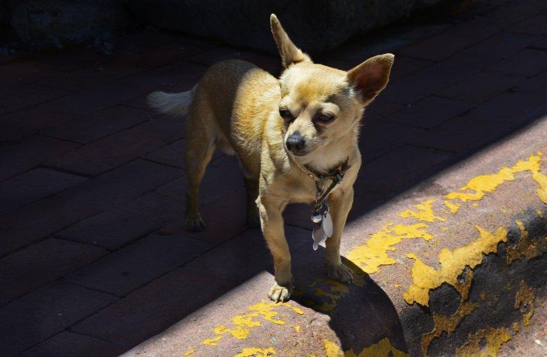 chihuahua dog on curb