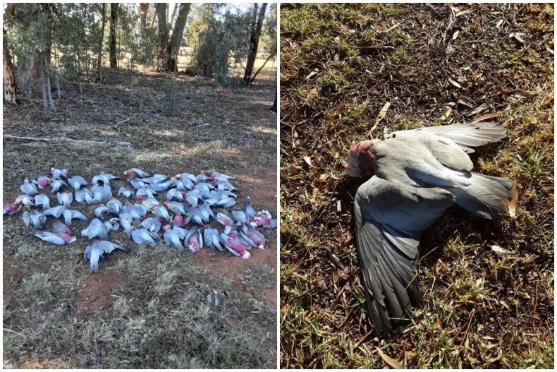 Birds Poisoned from Mouse Bait
