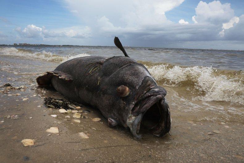 'Extinct' Goliath grouper caught in South Carolina