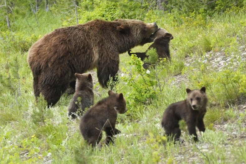 Grizzly Bear and Cubs in Wyoming
