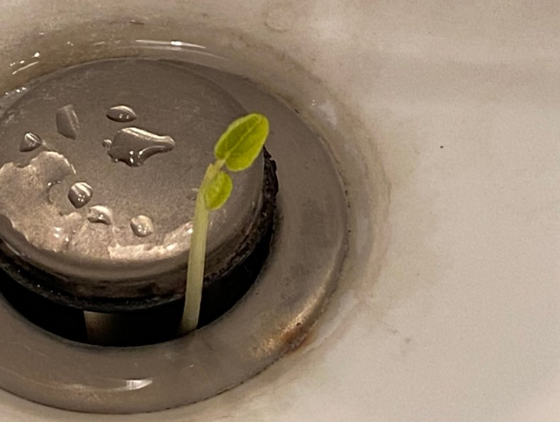The plant growing out of a sink
