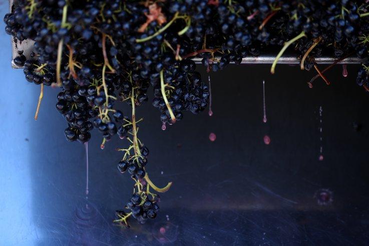 Syrah grapes for wine