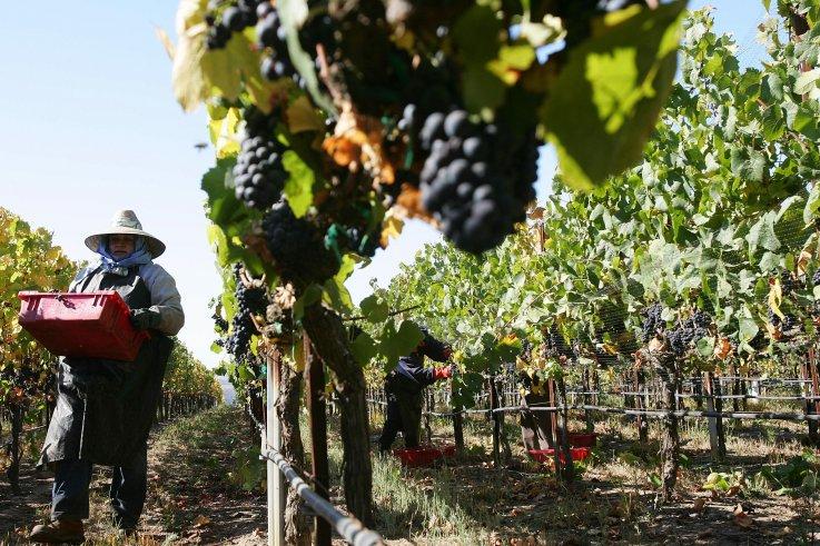 Wine grape laborers
