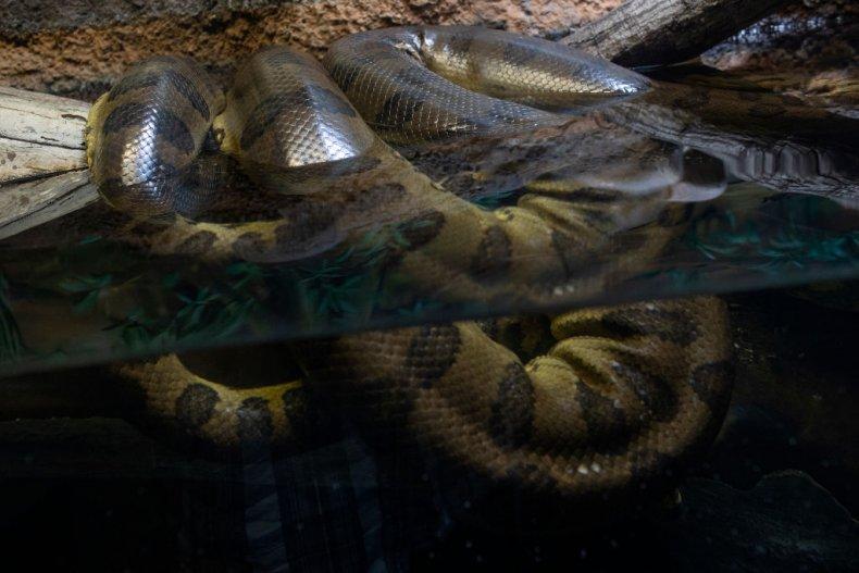 anaconda lies half submerged in water
