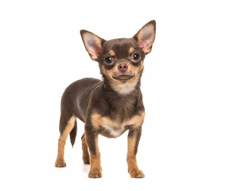 A brown chihuahua dog