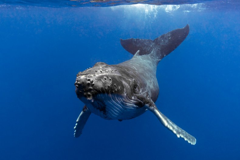 stock photo of a humpback whale