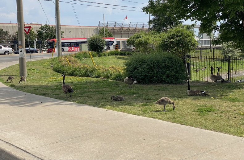 Image of geese from @PeelPolice