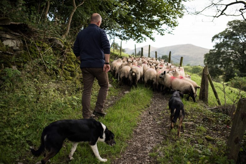 Herding dogs corral sheep in northern England.