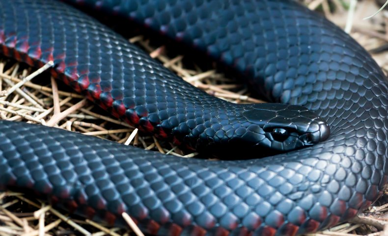 A closeup of a red-bellied black snake