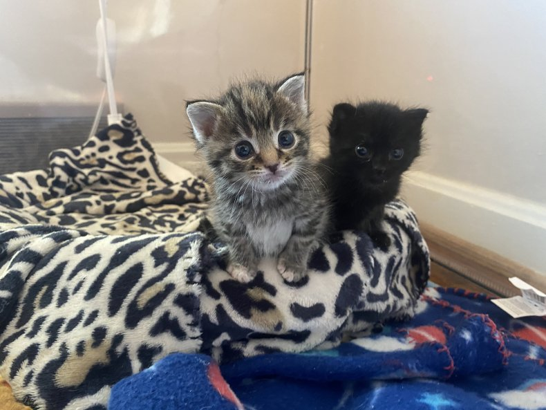 Baby kittens at Itty Bitty Kitty Committee