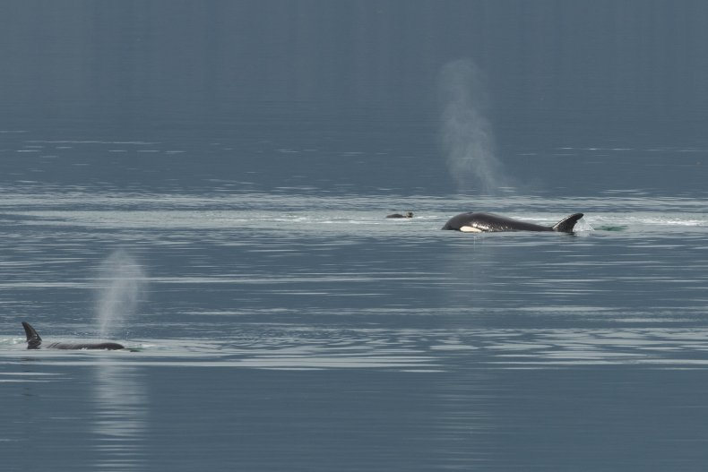 Orcas harassing an otter in Alaska