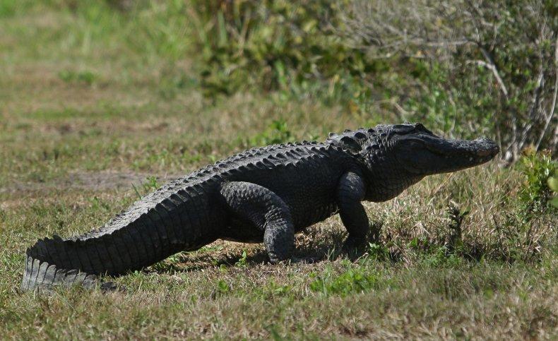 An alligator walks across some grass.