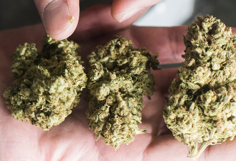 A person holds buds of marijuana.