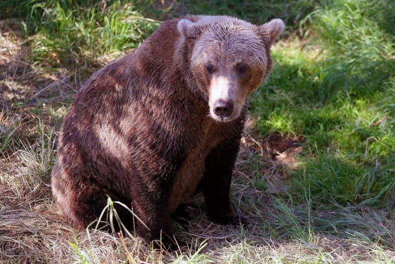 A brown bear in Alaska.