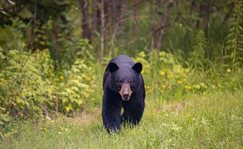 black bear walking in field.