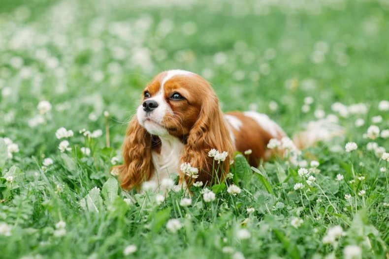 King Charles spaniel puppy in a field