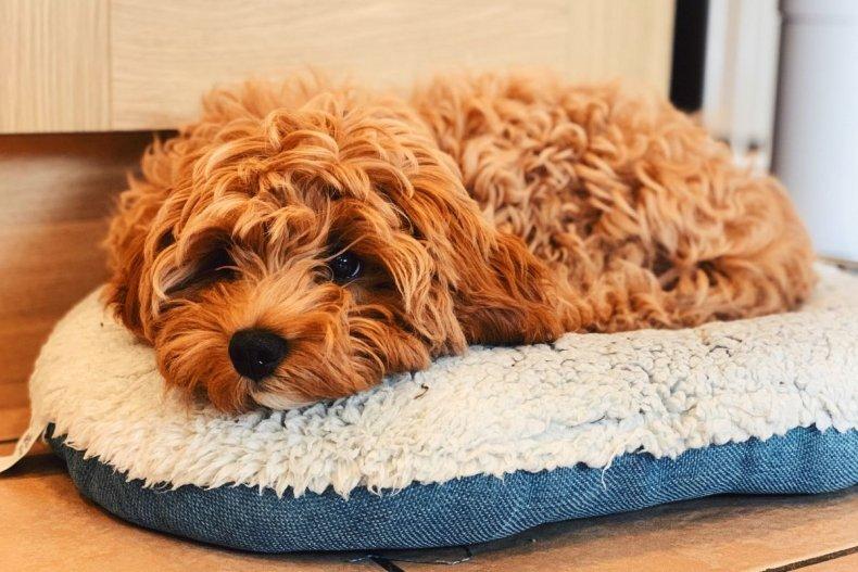 A cavapoo puppy on a cushion