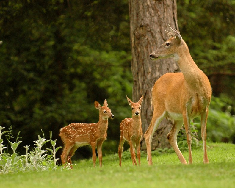 deer, fawn, stock, getty