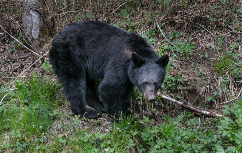 A bear in the Great Smoky Mountains