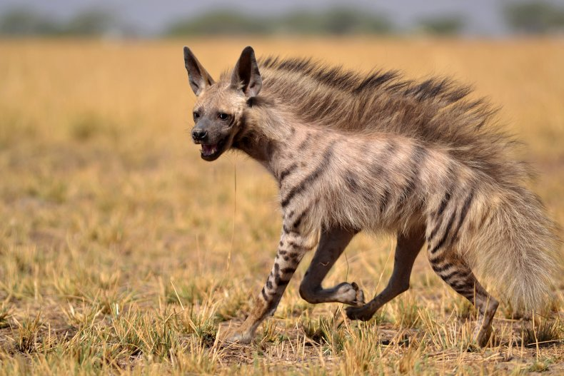 hyena, attack, getty