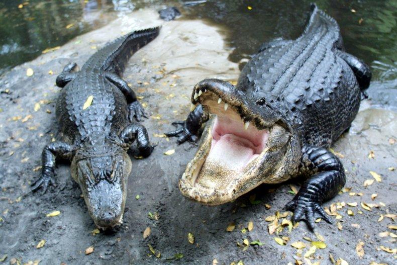 Two Alligators on Rock