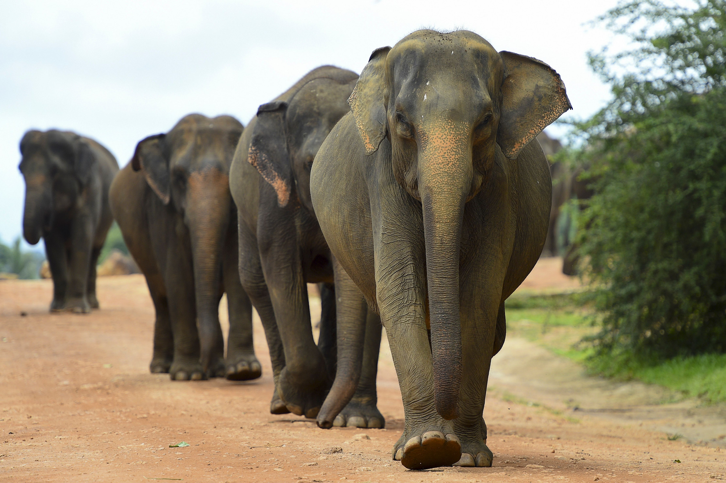 Herd of Elephants Seen Making Cross-Country Journey