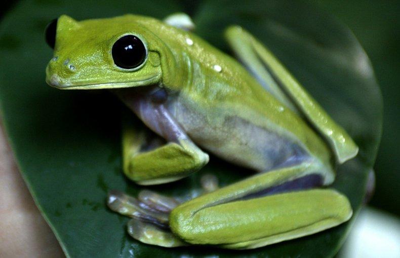 A tree frog sits on a leaf.