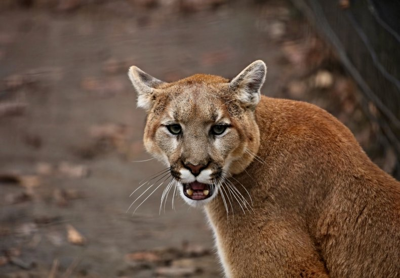 A cougar sitting with its mouth open