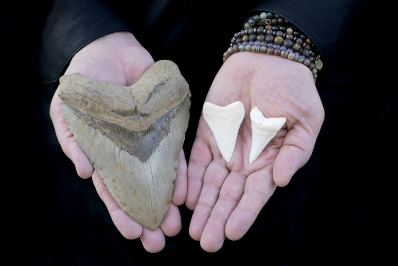 A megalodon tooth and great white teeth