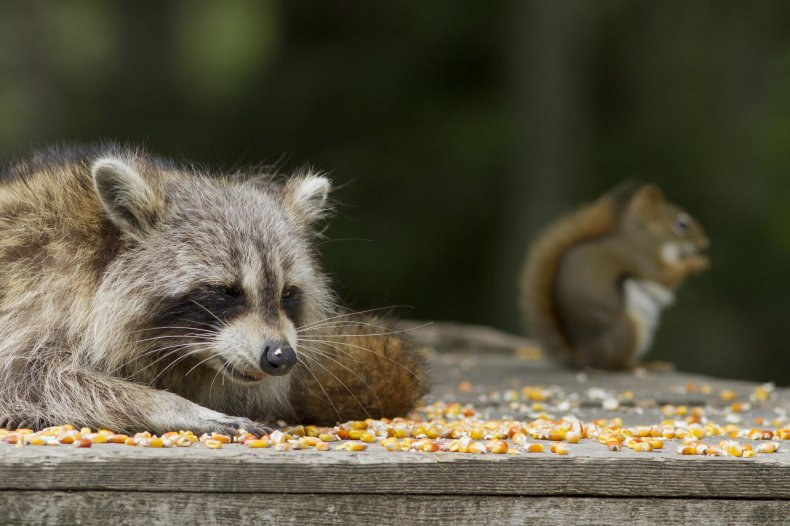 Stock image of a squirrel and raccoon.