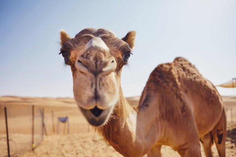 A camel in Oman