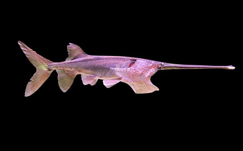 paddlefish, getty, stock