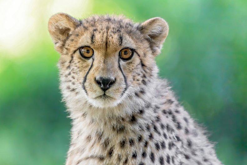 Cheetah in Vienna