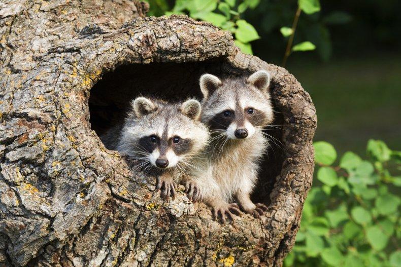 Raccoons stock image