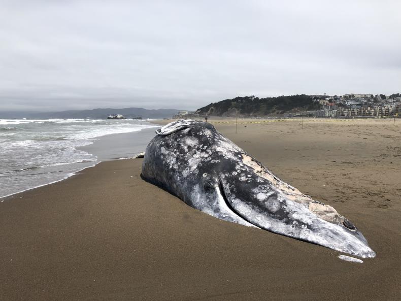 Dead gray whale at Ocean Beach