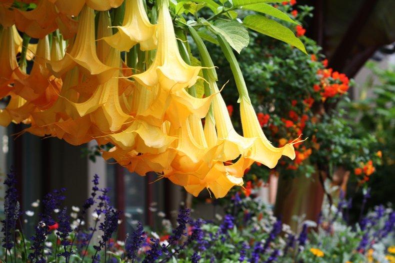 Image of angel's trumpet flower