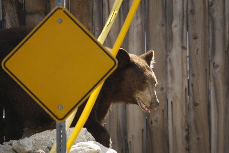 black bear california man shoots