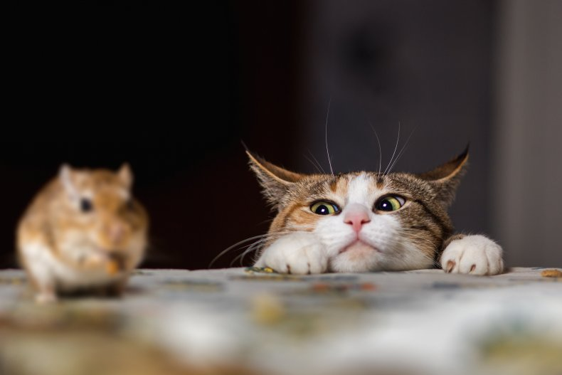 A cat looking at a rodent