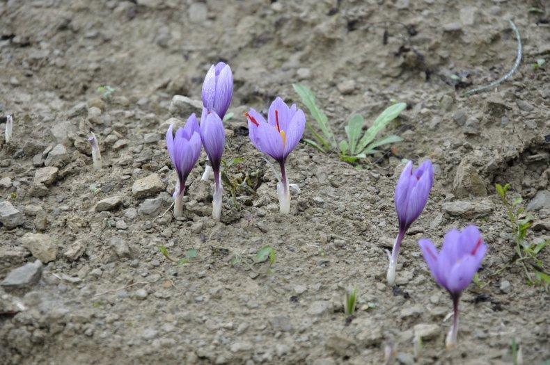 saffron flower crocus sativus