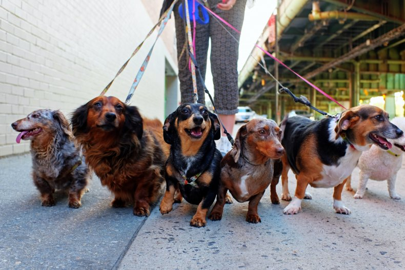 Dachshunds are kept on a leash