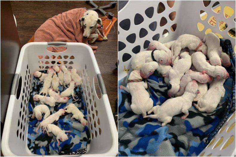 Dálmata da a luz a 16 cachorros